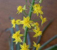 Snake flower or Bulbine Frutescens Flower
