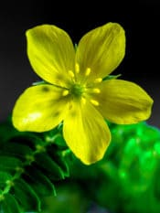 Tribulus Terrestris an exotic herbal plant